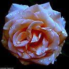 Dark Blue Peach Rose by 1greenthumb