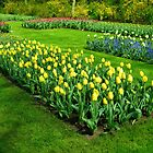 Bed of Yellow Tulips - Keukenhof Gardens by BlueMidnight