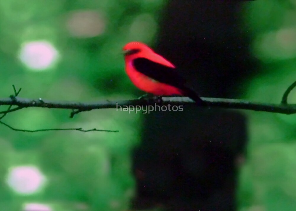 Red and black bird, Central Park, NY by happyphotos