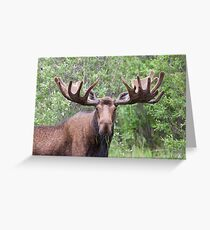 Bull moose with velvety antlers Greeting Card