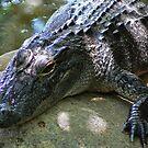 Alligator by caymanlogic