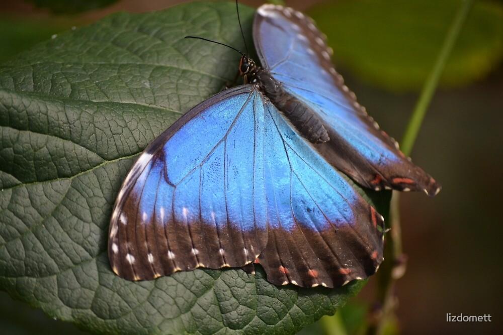Beautiful Blue Butterfly by lizdomett