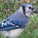 Blue Jay by Danielle Loscig