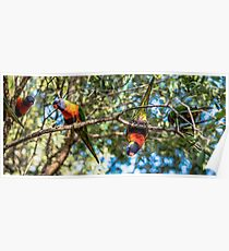 Rainbow lorikeets outside during the day. Poster