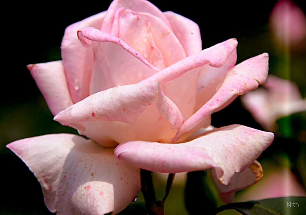 Pink Rose by Nith