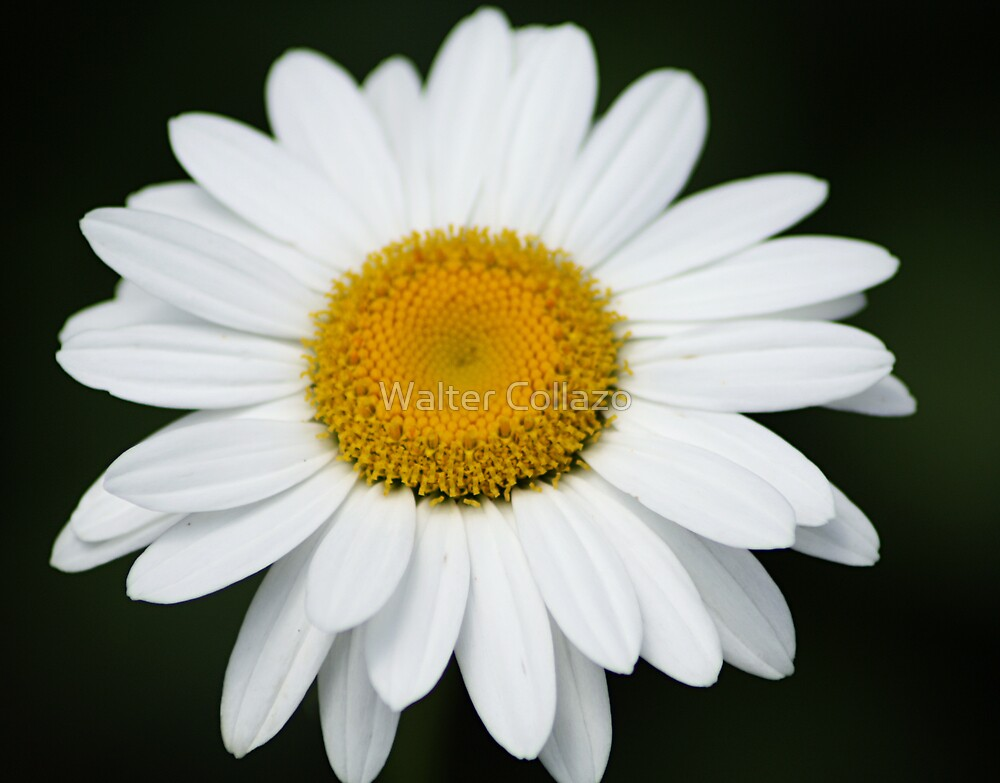 White Daisy by Walter Collazo