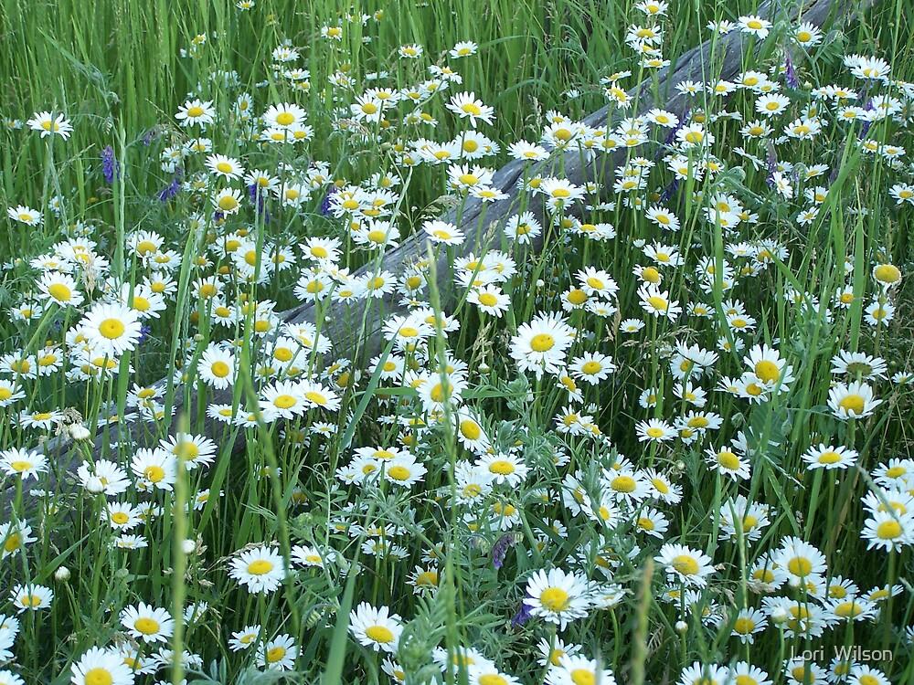 field of daisies by Lori  Wilson