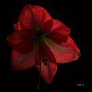 Amaryllis by Rosemary Sobiera