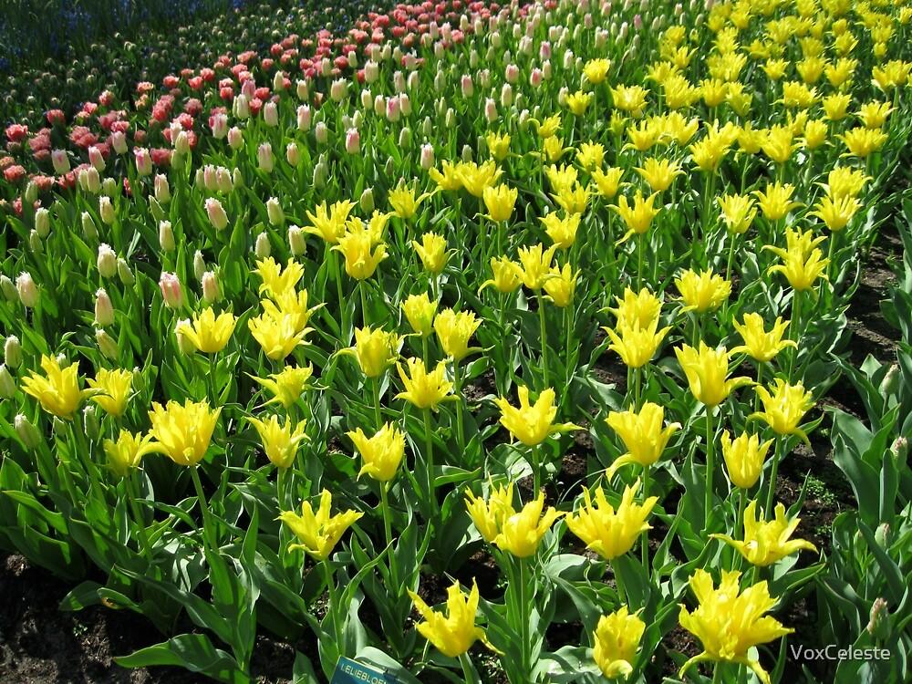 Golden Tulips - Keukenhof Gardens by VoxCeleste