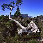 Bonsai on the high plains by Chris Allen