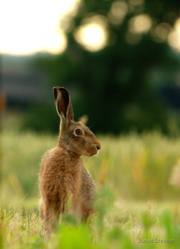 The Brown Hare by James Stevens