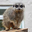 Meerkat  by AnnDixon
