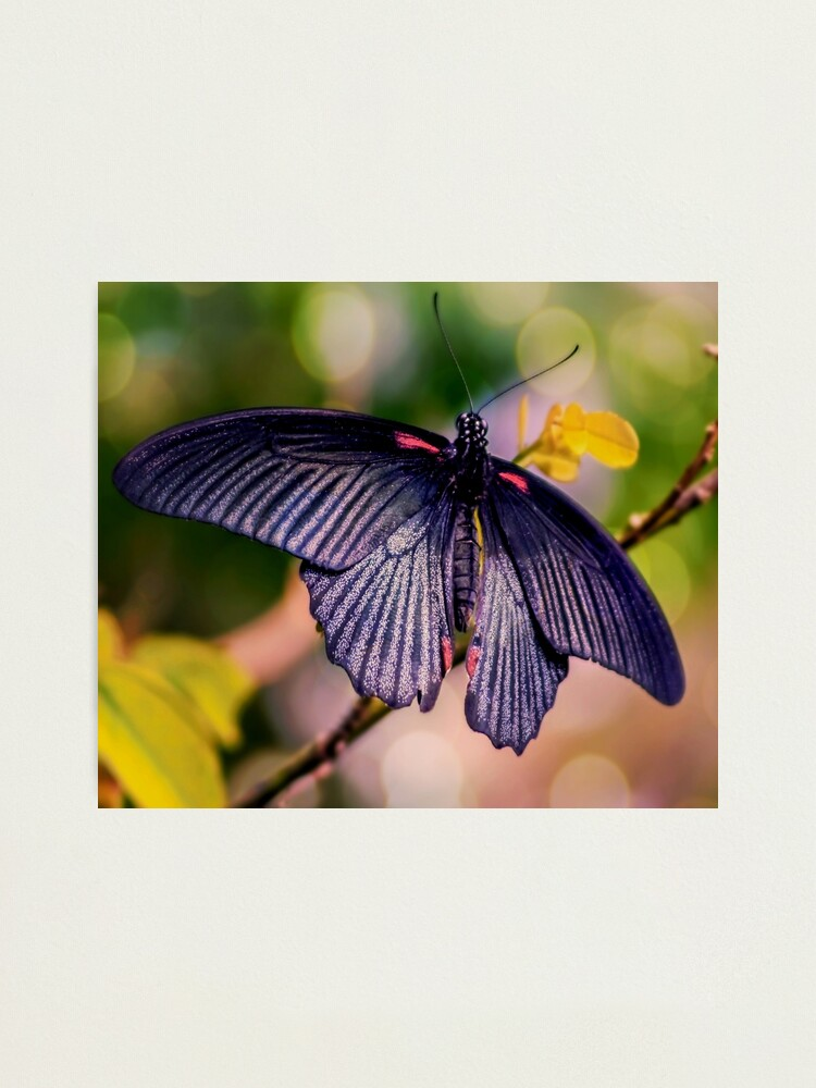 Alternate view of Asian Swallowtail Photographic Print
