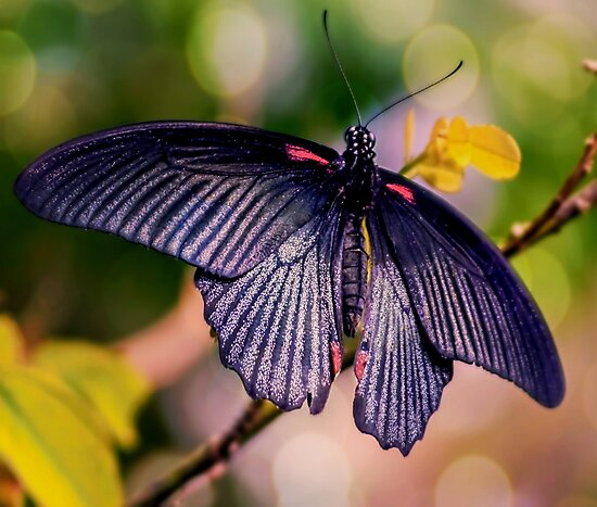 Asian Swallowtail by ScenicViewPics