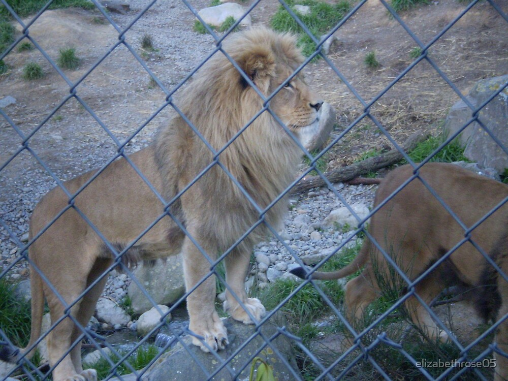 Caged Lion #4 by elizabethrose05