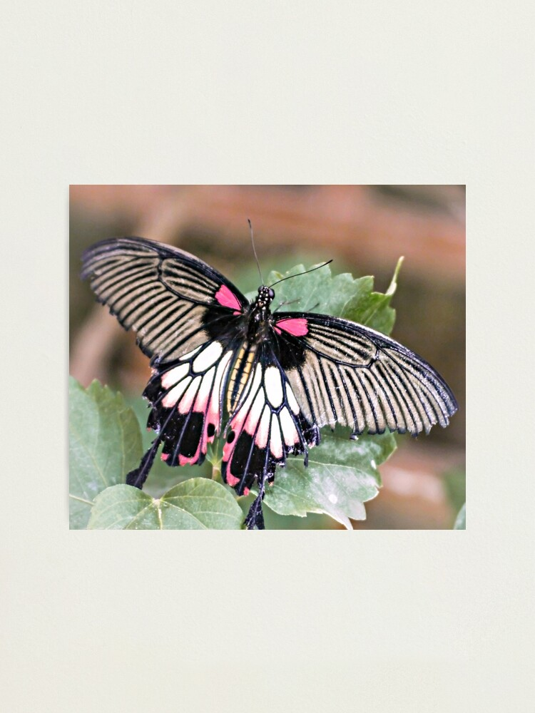 Alternate view of Majestic Tropical Butterfly Photographic Print