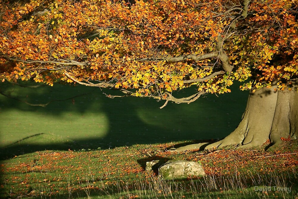Golden beech tree by David Tovey