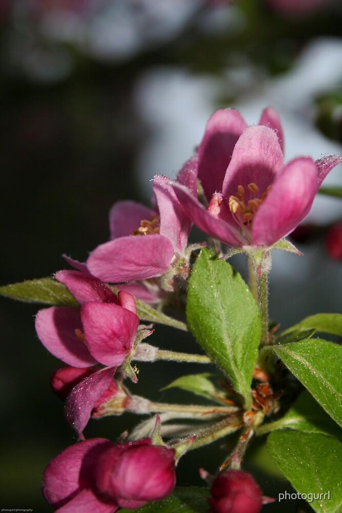 Crabapple Blossom by photogurrl