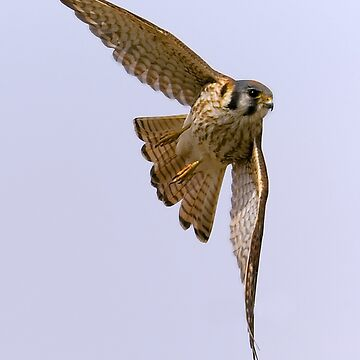 American kestrel in flight by mhackett