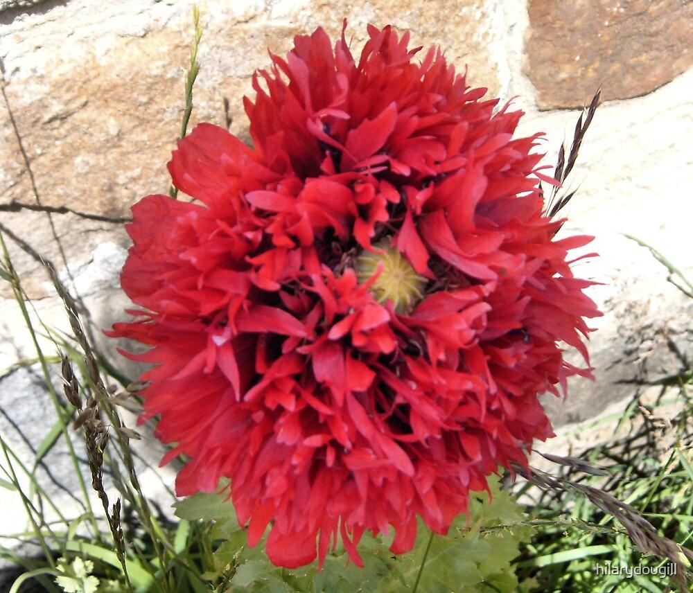 Most unusual Poppy by hilarydougill
