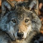 Timber Wolf - Looking at you. by Michael Cummings