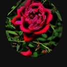 The Rose by photorolandi