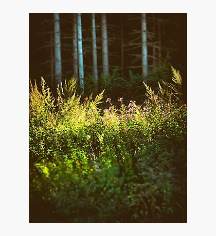 Tall birches II Photographic Print