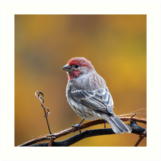 House Finch Square by Christina Rollo