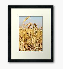 Ripe wheat ears on field. Framed Print