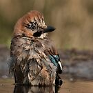 European Jay by Peter Wiggerman