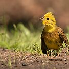 Yellowhammer by Peter Wiggerman