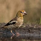 Juvenile Hawfinch - II by Peter Wiggerman