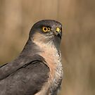 Sparrowhawk - I by Peter Wiggerman