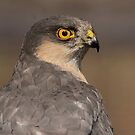 Sparrowhawk - III by Peter Wiggerman