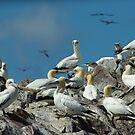 Gannets, Bass Rock by lukasdf