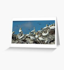 Gannets, Bass Rock Greeting Card