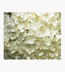 White Hydrangea Photographic Print