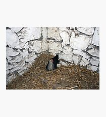 Hen and chicken Photographic Print