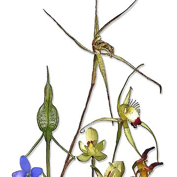 Orchids of Australia 2 Native orchids of Western Australia by yallmia