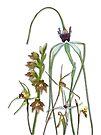 Orchids of Australia 1 by Leonie Mac Lean