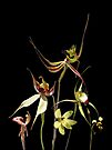 Orchids of Australia 4 by Leonie Mac Lean