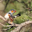Zebra Finch - 799 by Emmy Silvius