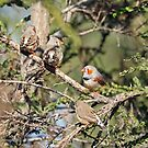 Zebra Finches - 596 by Emmy Silvius