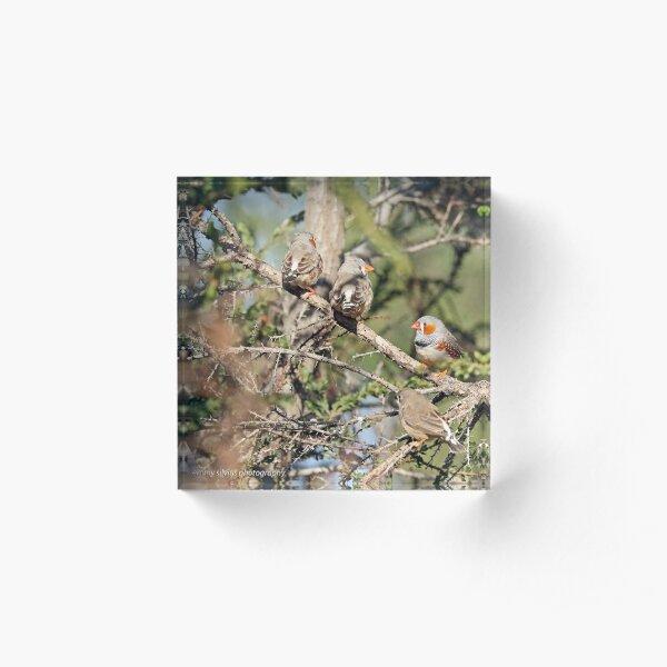 Zebra Finches - 596 Acrylic Block