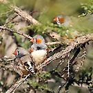 Zebra Finches - 845 by Emmy Silvius