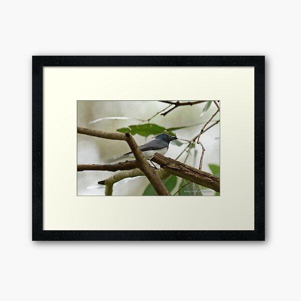 Leaden Flycatcher - 27 Framed Art Print