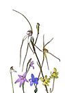 Orchids of Australia 7 Native orchids of Western Australia by Leonie Mac Lean
