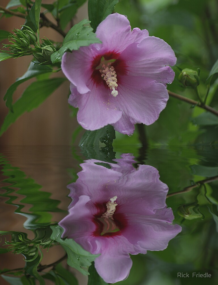 Rose of Sharon Wet by Rick  Friedle