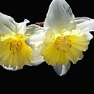 Beautiful Spring Life Of Daffodils by Joy Watson