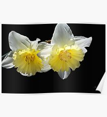 Beautiful Spring Life Of Daffodils Poster